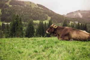 Entspanntes Deutschland: im Allgäu liegt eine braune Kuh entspannt im Gras. Im Hintergrund grüne Hügel und Nebelschwaden.