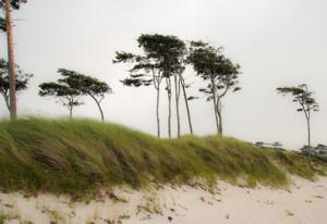 Entspanntes Deutschland: die Bäume am Darßer Weststrand sind vom Wind etwas schief.