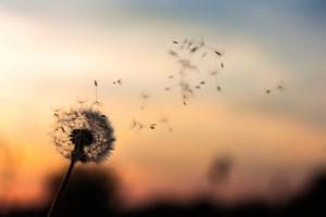 Was ist Achtsamkeit? Achtsam sein bedeutet, die kleinen aber feinen Dinge des Lebens wahrzunehmen, wie die Samen einer Pusteblume, die durch die Luft fliegen.